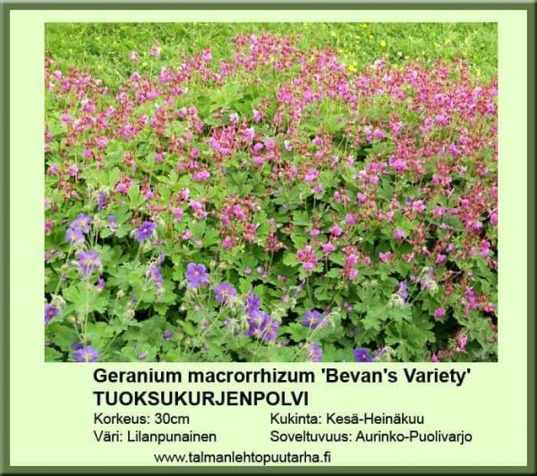Geranium macr. Bevan's Variety Tuoksukurjenpolvi