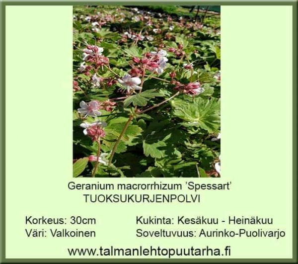 Geranium macrorrhizum 'Spessart' Tuoksukurjenpolvi