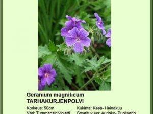 Geranium magnificum Tarhakurjenpolvi