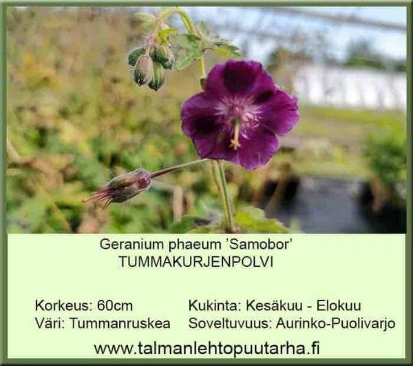 Geranium phaeum 'Samobor' Tummakurjenpolvi