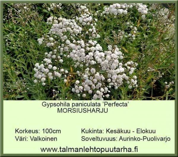 Gypsophila paniculata 'Perfecta' Morsiusharso