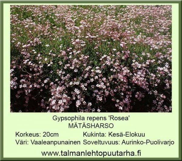 Gypsophila repens 'Rosea' Mätäharso