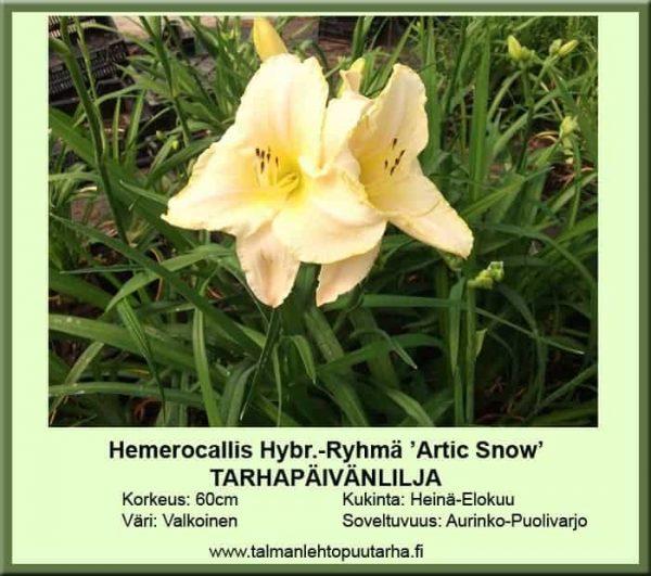 Hemerocallis Hybr.-Ryhmä 'Arctic Snow' Tarhapäivänlilja