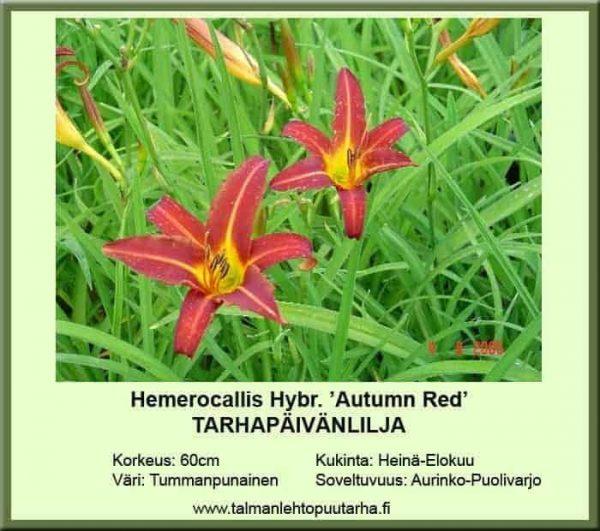 Hemerocallis Hybr.-Ryhmä 'Autumn Red' Tarhapäivänlilja