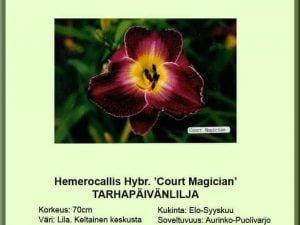 Hemerocallis Hybr.-Ryhmä 'Court Magician' Tarhapäivänlilja