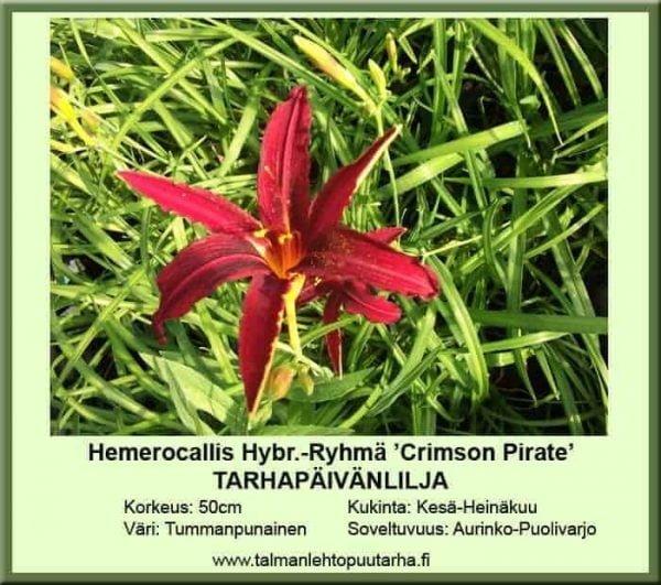 Hemerocallis Hybr.-Ryhmä 'Crimson Pirate' Tarhapäivänlilja