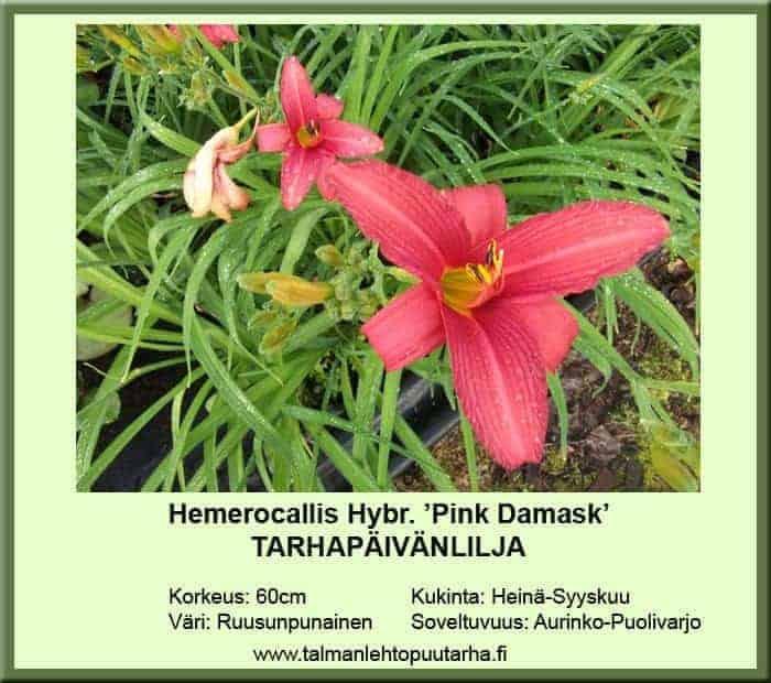Hemerocallis Hybr.-Ryhmä 'Pink Damask' Tarhapäivänlilja