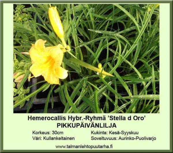 Hemerocallis Hybr.-Ryhmä 'Stella d'Oro' Pikkupäivänlilja