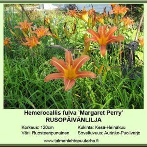 Hemerocallis fulva 'Margaret Perry' Rusopäivänlilja