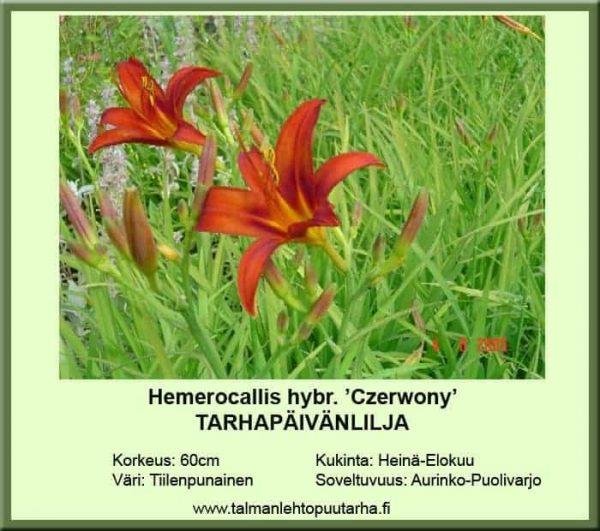 Hemerocallis Hybr.-Ryhmä 'Czerwony' Tarhapäivänlilja