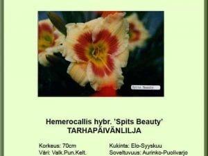 Hemerocallis Hybr.-Ryhmä 'Spits Beauty' Tarhapäivänlilja
