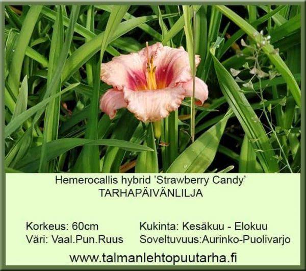 Hemerocallis hybr. 'Strawberry Candy' Tarhapäivänlilja