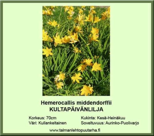 Hemerocallis middendorffii Kultapäivänlilja
