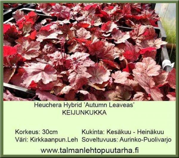 Heuchera Hybr. 'Autumn Leaves' Keijunkukka