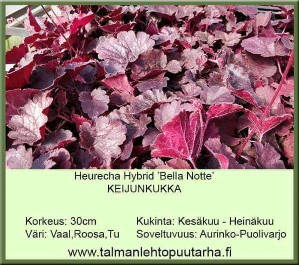Heuchera Hybr. 'Bella Notte' Keijunkukka
