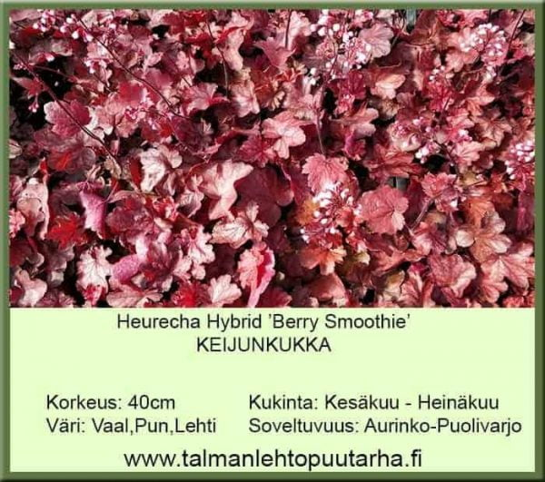 Heuchera Hybr. 'Berry Smoothie' Keijunkukka