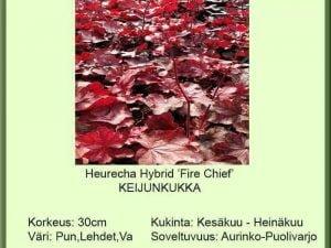 Heuchera Hybr. 'Fire Chief' Keijunkukka