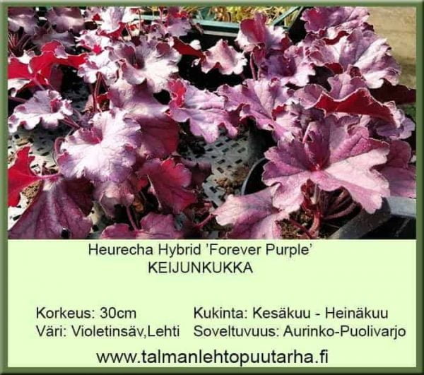 Heuchera Hybr. 'Forever Purple' Keijunkukka