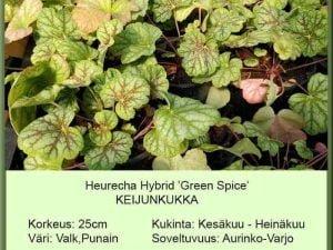 Heuchera Hybr. 'Green Spice' Keijunkukka