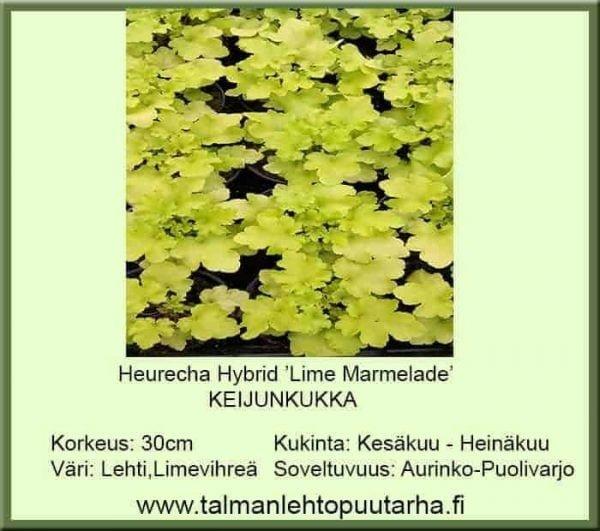 Heuchera Hybr. 'Lime Marmelade' Keijunkukka