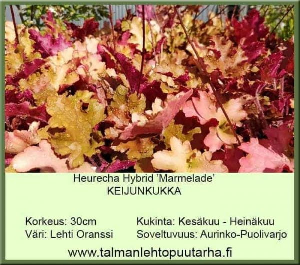 Heuchera Hybr. 'Marmelade' Keijunkukka