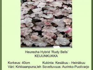 Heuchera Hybr. 'Ruby Bells' Keijunkukka