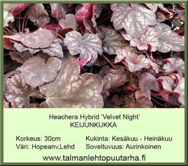 Heuchera Hybr. 'Velvet Night' Keijunkukka