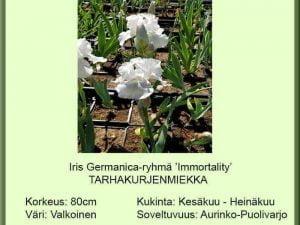 Iris Germanica-ryhmä 'Immortality' Tarhakurjenmiekka