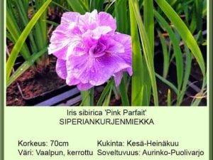 Iris sibirica 'Pink Parfait' Siperiankurjenmiekka