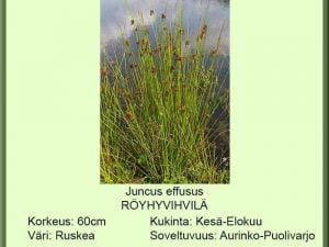 Juncus effusus Röyhyvihvilä