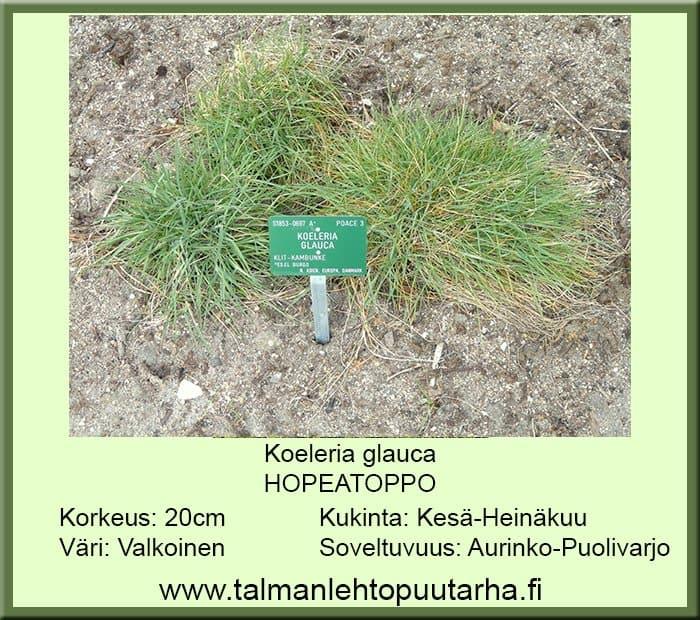 Koeleria glauca Hopeatoppo