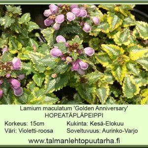 Lamium maculatum 'Golden Anniversary' Hopeatäpläpeippi