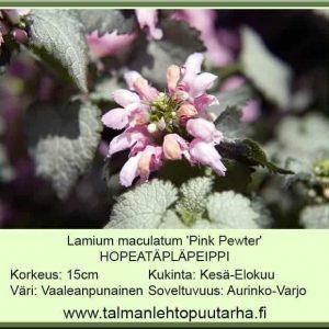 Lamium maculatum 'Pink Pewter' Hopeatäpläpeippi