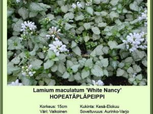 Lamium maculatum 'White Nancy'' Hopeatäpläpeippi