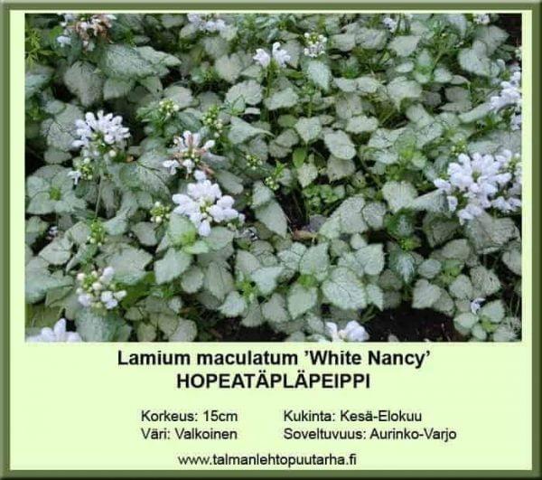 Lamium maculatum 'White Nancy'' Hopeatäpläpeippi