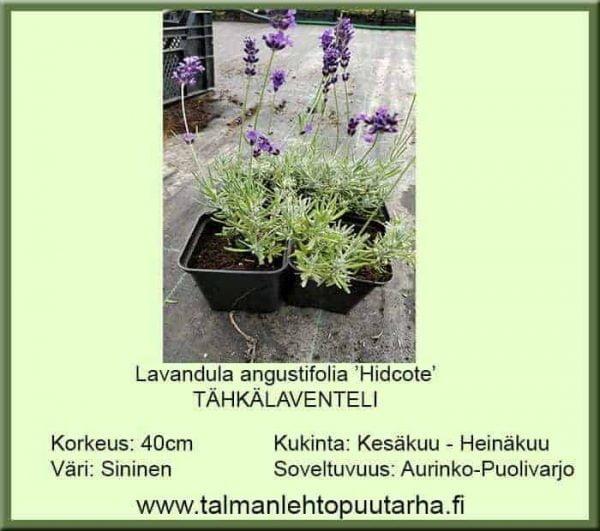 Lavandula angustifolia 'Hidcote Blue' Tähkälaventeli