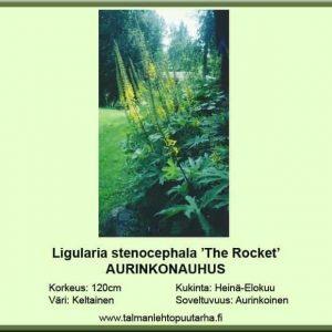 Ligularia stenocephala 'The Rocket' Aurinkonauhus