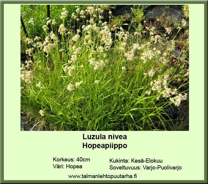 Luzula nivea Hopeapiippo