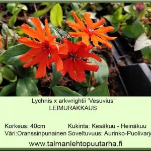 Lychnis x arkwrightii 'Vesuvius' Leimurakkaus