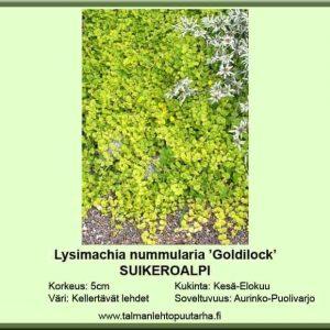 Lysimachia nummularia 'Goldilocks' Suikeroalpi