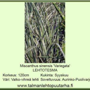 Miscanthus sinensis 'Variegata' Lehtotesma