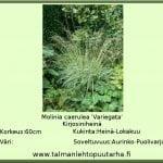 Molinia caerulea 'Variegata' Kirjosiniheinä