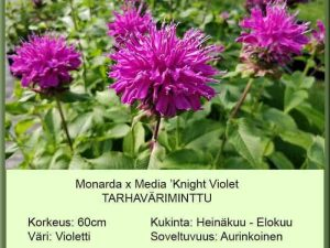 Monarda x media 'Knight Violet Tarhaväriminttu
