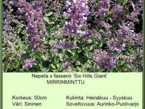 Nepeta x fassenii 'Six Hills Giant' Mirrinminttu