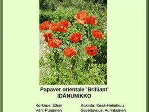 Papaver orientale 'Brilliant' Idänunikko