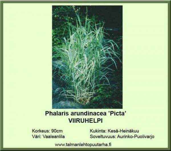 Phalaris arundinacea 'Picta' Viiruhelpi