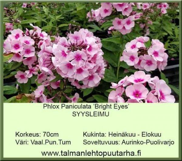 Phlox paniculata 'Bright Eyes' Syysleimu