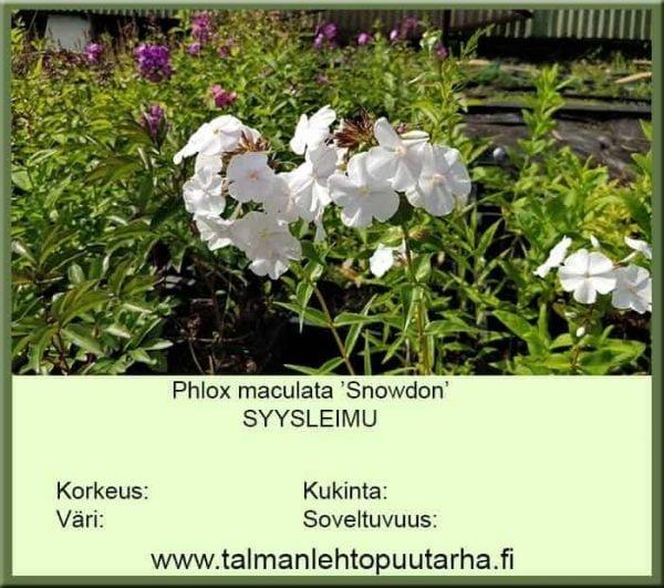 Phlox maculata 'Snowdon' Syysleimu