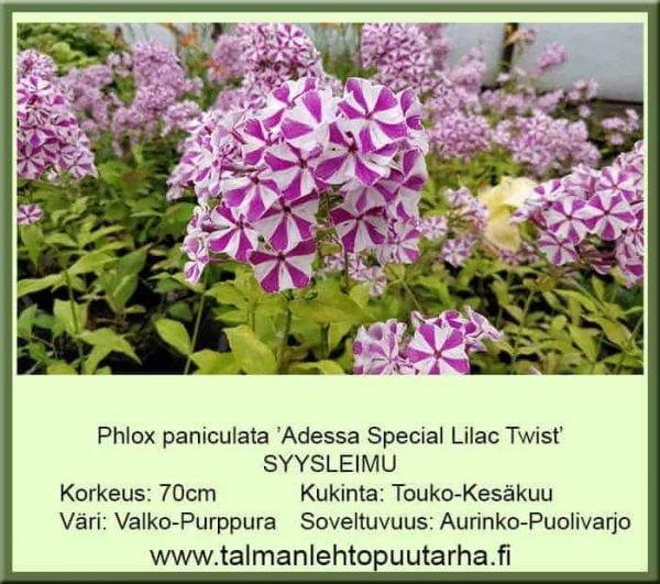 Phlox paniculata 'Adress Special Lilac Twist' Syysleimu