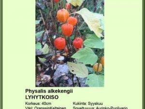 Physalis alkekengi Lyhytkoiso